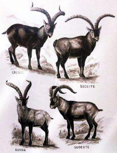 Ibex species